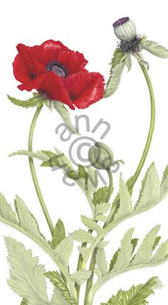 Ann Swan - Oriental Poppy