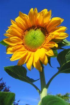 repurposed headboard Sunflower sunflower flower and web Sunflower. Happy Flowers, Yellow Flowers, Beautiful Flowers, Sun Flowers, Sunflower Flower, My Flower, Sunflowers And Daisies, Begonia, Mellow Yellow