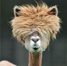 Стильные альпаки -   Stylish alpaca  Альпака — домашнее парнокопытное животное семейства верблюжьих, произошедшее от викуньи (вигони). Альпаки обитают в высокогорье перуанских Анд, на высоте 3500-5000 метров над уровнем моря. Местообитание Альпак – Южная Америка (Эквадо�