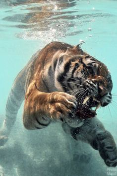 Underwater Tiger Amazing how much tigers love water! #provestra