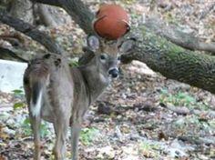 Oh deer! Basketball gets stuck in antlers