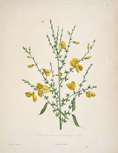 gravures botanique Rousseau - gravures botanique Rousseau - 147 spartium scoparium - genet a balais - Gravures, illustrations, dessins, images