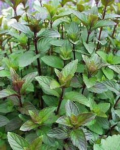Chocolate Mint - What's growing in my garden.