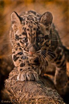 Cautious Advance   Adorable little Clouded Leopard Cub   by Ashley Vincent