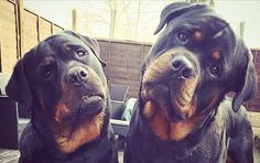 rotteweiler brothers