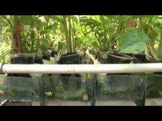 Salah satu cara untuk mendapatkan sayuran segar tanpa pestisida adalah dengan menanam sendiri sayuran. Yang jadi masalah adalah tidak semua orang mempunyai lahan untuk menanam sayuran. Oleh karena itu ada cara dimana anda bisa menanam sayuran dengan memanfaatkan air sebagai media pengganti tanahnya atau yang disebut juga denganhidroponik. Bagi yang mempunyai hobi berkebun, carahidroponik ini… Hydroponic Lettuce, Hydroponic Gardening, Hydroponics, Empty Glass Bottles, Organic Horticulture, Bottle Garden, Cold Process Soap, Vegetable Garden, Patio