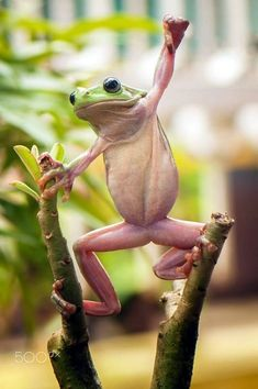 40 Amazing Frog Pictures To Understand Them Better - Animals and Pet Supplies 2020 The Animals, Baby Animals, Funny Animals, Funny Frogs, Cute Frogs, Beautiful Creatures, Animals Beautiful, Animals Amazing, Amazing Frog