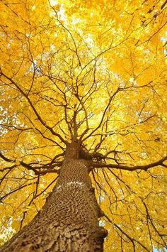 Yellow leaves in fall ♡