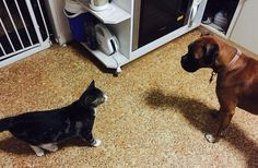Missy the Boxer and DogCat (so-called because our cat thinks he's a dog) having a face-off. Spoiler alert: DogCat wins!!