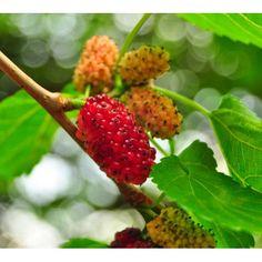 Morus alba Pendula  -  Weeping White Mulberry tree 10/12cm girth