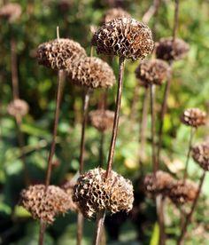 Seedheads make decorative Autumn/Winter sculptural features in the Garden 🍂 Fall Winter, Autumn, Dean, Dandelion, Sculpture, Garden, Flowers, Plants, Garten