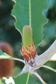 Banksia Robur flower
