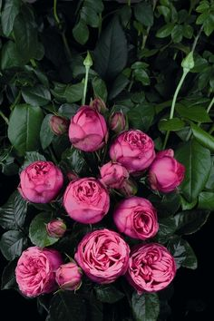 Nostalgie®-Edelrose 'Pink Piano' ® - Rosa 'Pink Piano' ® The single most loving plants on