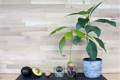 Avocado vom Kern zur Pflanze