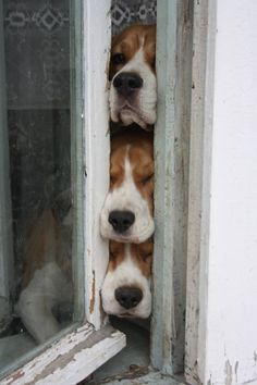 When is Dad coming home? #Beagle.                 ••••(KO) Puppy dog smooshes through the the door. So cute! Love Beagles!