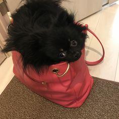 Pomeranian   Kawaii