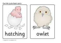 A set of printable flash cards showing the basic stages in the life cycle of an owl. Owls Kindergarten, Owl Preschool, Owl Activities, Infant Activities, Owl Theme Classroom, Classroom Teacher, Classroom Ideas, Baby Owls, Owl Babies