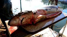 Η εμφάνιση καρχαριών Alopias sp. στην Νέα Κίο δεν πρέπει να τρομάζει τους κατοίκους της περιοχής.