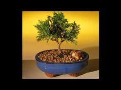 como hacer un bonsai paso a paso - como hacer bonsai - artificial bonsai