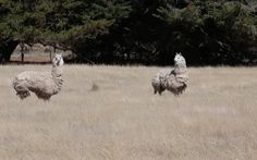 The rescue team at Edgar's Mission is always ready to give it their all for any animal in need. So, when they received a call regarding two alpacas who had been living alone in a field, they set out to take on the rescue.