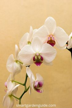 Points You Should Know Prior To Obtaining Bouquets Phalaenopsis Orchid Care. Orchid Care For Beginners. Get the hang of Everything You Need To Know About Growing And Looking After Phalaenopsis Orchids At Phalaenopsis Orchid Care, Moth Orchid, Orchid Plants, All Plants, Potted Plants, Orchids In Water, White Orchids, Growing Orchids, Orchid Arrangements