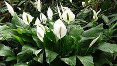 A leggyorsabban növő szobanövények | Kuffer Gerbera, Agriculture, Plant Leaves, Plants, Gardening, Garten, Planters, Lawn And Garden, Garden
