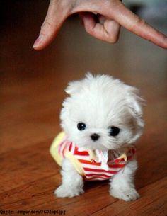 Super süße Hunde Babys - die winzigsten Hundewelpen. Klein und super niedlich. Interessante Neuigkeiten aus der Welt auf BuzzerStar.com : BuzzerStar News - http://www.buzzerstar.com/super-suesse-hunde-babys-die-winzigsten-hundewelpen-klein-und-super-niedlich-78547cd78.html