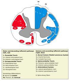 Lateral vestibulospinal tract - Wikipedia
