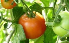 Zelf tomatensap maken