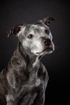 Amerikansk Staffordshire Terrier, også kjent som Amstaff ble dessverre ført opp på forbudslisten over raser vi ikke ønsker i Norge i 2004.     Jeg var så heldig at jeg fikk bli litt kjent med Frøya. Og få mulighet til å ta bilder av henne.     #amstaff #amerikansk staffordshire terrier #fotograf #hundefoto #hundefotografering #hundebilder Staffordshire Terriers, Studio, Pitbulls, Fine Art, Dogs, Pictures, Animals, Photos, Animales