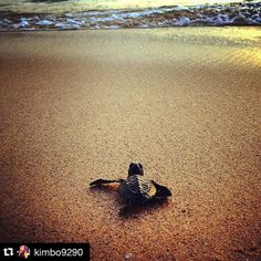 Turtle Hatchery by @kimbo9290 repost with @stockphotolk  Share your photographs with #stockphotolk  Sign up on www.stockphoto.lk for free and convert your creativity into revenue! .  Saying goodbye was hard but Jimmy's off to bigger and better things  #turtle #OliveRidley #conservation #turtlehatchery #Hikkaduwa #SriLanka #love #TMNT #mummyturtle #travel #wanderlust #beach #ocean #adventuresofadimdim .  #travelgram #travelpics #travelporn #traveldiary #wanderlust #igers #igtravel #netgeo…