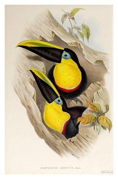 https://flic.kr/p/aFS5jc | 015- Tucan ambiguo-Supplement of the Ramphastidae or family of Toucans Gould John-1855 | Esta imagen pertenece a www.odisea2008.com Referencia post: www.odisea2008.com/2011/11/los-tucanes.html