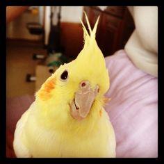 what's up? #RememberingRubytheCockatiel #Cockatiel #オカメインコ #bird