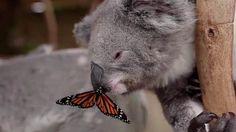 koala bear pictures   Butterfly lands on koala's nose, cuteness ensues - TODAY.com