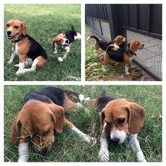 Beagle Love- Taco & Miley