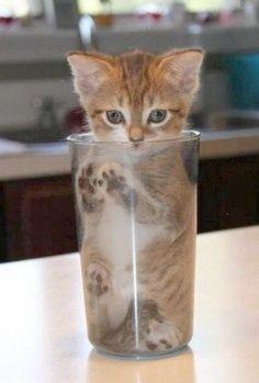 aww midget cat i want one so bad animals i love pinterest