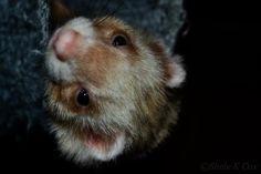 Ferret -Freyja