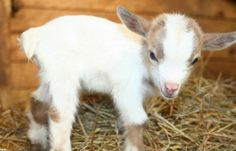How could anybody resist this cute little guy??...Baby goats need a little love too!!!
