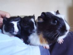 What You Need to Know About Naming Your Guinea Pigs - News - Bubblews Guinea Pig Breeding, Guinea Pigs, Pig Art, Animal Species, Kinds Of People, Photo Reference, Art Gallery, Cute Animals, News