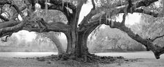 Tree of Life, Audubon Park, New Orleans, wedding