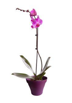 Orchidée phalaenopsis rose 1 branche avec cache pot violet