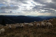A flock of sheep grazing on a hill on a cloudy day