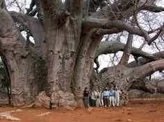 65 super Ideas for nature trees south africa Le Baobab, Baobab Tree, Giant Tree, Big Tree, Unique Trees, Old Trees, Parc National, Nature Tree, Tree Forest
