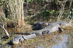 Alligators, The Everglades National Park (Homestead, Florida)
