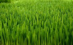 "lol to ""the sodfather.com"" :-) Meyer Zoysia Turf Grass - Phillip Jennings Turf Farms"