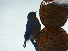Bluebird just outside my kitchen window