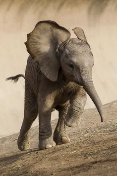 Art Print featuring the photograph African Elephant Calf Running by San Diego Zoo Cute Baby Animals, Animals And Pets, Funny Animals, Wild Animals, Zoo Animals, Beautiful Creatures, Animals Beautiful, Elephas Maximus, Save The Elephants