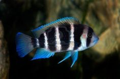 Frontosa, a colorful tropical fish of the cichlid Saltwater Aquarium Setup, Aquarium Fish For Sale, Lake Tanganyika, Siamese Fighting Fish, African Cichlids, Angel Fish, Ocean Creatures, Sea And Ocean, Betta Fish