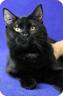 Blackwood, NJ - Domestic Shorthair. Meet Mischief, a cat for adoption. http://www.adoptapet.com/pet/17008685-blackwood-new-jersey-cat