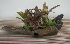 Table Centerpiece with Driftwood and Real Plants Tropical Centerpieces, Centerpiece Decorations, Table Centerpieces, Driftwood Centerpiece, Driftwood Planters, Real Plants, Air Plants, Porch Area, State Of Florida